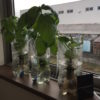 ペットボトルの水耕栽培でバジルとイタリアンパセリを